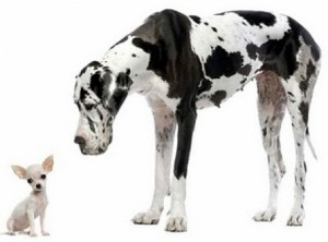 great_dane_and_chihuahua_small